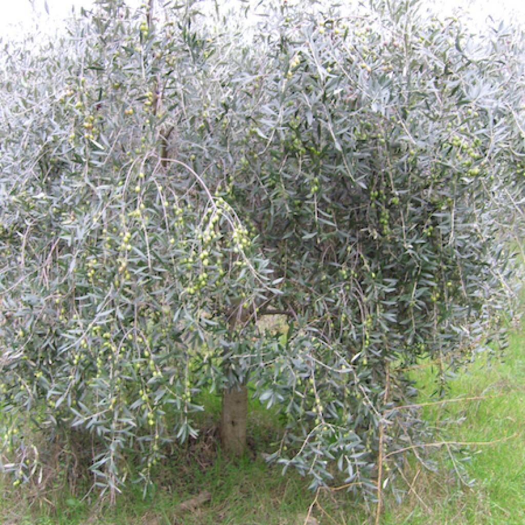 Raccolta Olive - Agriturismo Apparita