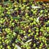 """""""Extravergine"""" olie van biologische olijven"""