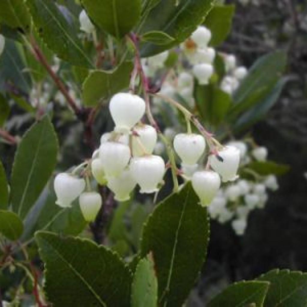 fiori-di-corbezzolo.nella-riserva-di-berignone-a-pomarance